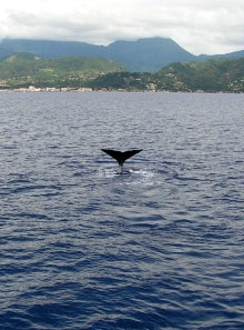 Whales in Dominica, Photo by Steve McCabe
