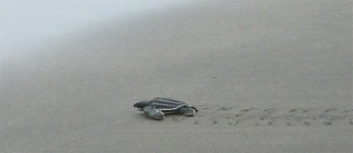 Young Leatherback Heads for the See