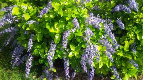 Flowering Petrea