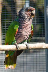 Sisserou Parrot